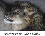 head of sleeping lion | Shutterstock . vector #665656069