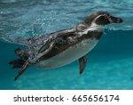 diving humboldt penguin   Shutterstock . vector #665656174