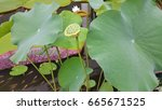 Green Lotus Leave On The Pond.