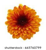 Single Chrysanthemum Flower...
