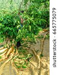 Small photo of harvesting coffee berries by agriculturist hands at, Cau Dat, Da Lat, Lam Dong, Vietnam