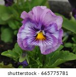 lavender and mauve pansy | Shutterstock . vector #665775781
