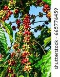 closeup of coffee fruit in...   Shutterstock . vector #665776459