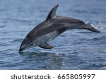 Small photo of A pacific white-sided dolphin leaps out of the water in Monterey Bay, California.