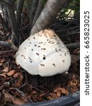 Small photo of A basidiomycota mushroom growing beneath a wax myrtle