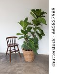 Small photo of fiddle leaf fig tree on Wicker basket and vintage chair.