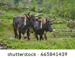 Two Bulls With Yoke Plowing Th...