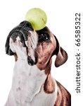 Boxer Dog Balancing Ball On Nose