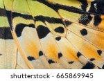 Close Up Fivebar Swordtail...