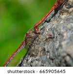 Coupling Of Red Dragonflies...