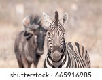 zebra and wildebeest | Shutterstock . vector #665916985