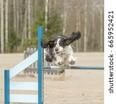 Small photo of English Springer Spaniel jumps over an agility obstacle in agility competition