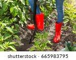gardener in red rubber boots...   Shutterstock . vector #665983795