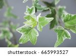 green ivy leaf on gray wall... | Shutterstock . vector #665993527