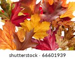 A collection of different tree leaves showing their Fall colors - stock photo