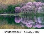 the beautiful cherry blossom... | Shutterstock . vector #666022489