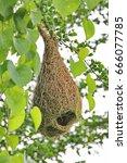 weaver nest  or tailor bird nest | Shutterstock . vector #666077785