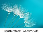Seeds Of Dandelion Flowers Wit...
