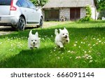Stock photo white fluffy cheerful happy pretty puppies of maltese lapdogs are play running on a green lawn 666091144