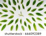 healthy light green tea leaves...   Shutterstock . vector #666092389