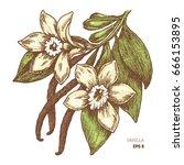 vanilla flower and pods.... | Shutterstock .eps vector #666153895