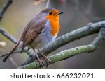 European Robin  More Commonly...