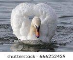 Determined Swan