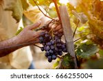 red wine grapes on vine in... | Shutterstock . vector #666255004