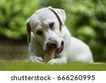 young hungry labrador retriever ... | Shutterstock . vector #666260995