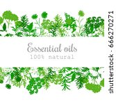 popular essential oil plants... | Shutterstock .eps vector #666270271