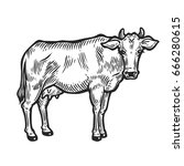 cow animal. hand drawn sketch... | Shutterstock .eps vector #666280615