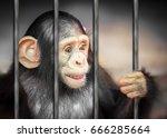 Pity Imprison Baby Chimpanzee...