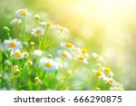 chamomile field flowers border. ... | Shutterstock . vector #666290875