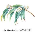 a branch of  eucalyptus... | Shutterstock . vector #666306211