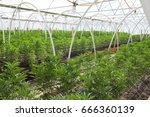 commercial cannabis grow... | Shutterstock . vector #666360139