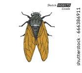 hand drawn ink sketch of cicada ... | Shutterstock .eps vector #666386911