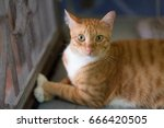 a funny domestic orange or red... | Shutterstock . vector #666420505