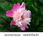 pink peony flowers close up | Shutterstock . vector #666445624