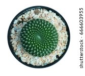 Cactus Plant In Pot Isolated O...