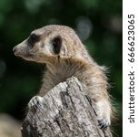 Watching Suricate. The Meerkat...
