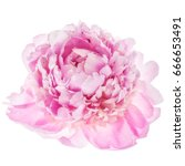 Stock photo pink peony flower isolated on white background top view 666653491