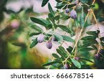 Branch Of Olive Tree With...
