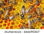 Mistress Bee Colonies. Queen...