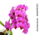 orchids on isolated background. ... | Shutterstock . vector #666696331