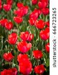 beautiful red tulips in nature   Shutterstock . vector #666723265