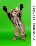 Stock photo siberian kitten black tiger on light green background 66674059