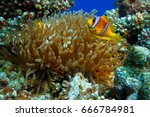 anemone fish in coral reef of...   Shutterstock . vector #666784981