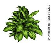 aglaonema flower sketch vector... | Shutterstock .eps vector #666891217