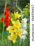 Gladiolus In The Garden. Yellow ...