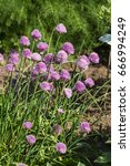 Small photo of blossoming chives - allium schoenoprasum in a herb garden